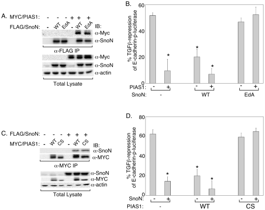 The PIAS1-SnoN sumoylation pathway antagonizes TGFβ-suppression of E-cadherin promoter activity. A) SUMO loss of function SnoN associates with PIAS1. Lysates of 293T cells expressing PIAS1, SnoN (WT) or SUMO loss of function SnoN (EdA) mutant, alone or together were subjected to SnoN immunoprecipitation (α-FLAG IP) followed by sequential PIAS1 (α-MYC) and SnoN (α-SnoN) immunoblotting. Expression of PIAS1, SnoN, and actin in lysates were confirmed by MYC, SnoN, and actin immunoblotting. B) The SUMO loss of function SnoN mutant inhibits PIAS1 to block TGFβ-reduction of E-cadherin transcription. NMuMG cells stably expressing SnoN (WT) or SnoN (EdA) or stably transfected with the vector control plasmid (−) were transiently transfected with the E-cadherin-p-luciferase reporter and the β-gal plasmid together with an empty expression vector (−) or one encoding the PIAS1 protein (+) were subjected to luciferase and β-galactosidase assays (see MATERIALS and METHODS ). Each column is the mean (± SEM, n = 6) of percent reduction of E-cadherin-p-luciferase activity by TGFβ. C) The SUMO ligase mutant PIAS1 interacts with SnoN. Lysates of 293T cells expressing SnoN, PIAS1 (WT) or SUMO E3 ligase mutant PIAS1 (CS), alone or together were subjected to PIAS1 immunoprecipitation (α-MYC IP) followed by SnoN (α-SnoN) and PIAS1 (α-MYC) immunoblotting. Total lysates were immunoblotted as described in 7A. D) SUMO E3 ligase mutant PIAS1 reverses the effect of SnoN to inhibit TGFβ-repression of E-cadherin promoter activity. NMuMG cells stably expressing PIAS1 (WT) or PIAS1 (CS), or stably transfected with the vector control plasmid (−) were transiently transfected with the E-cadherin-p-luciferase reporter and the β-gal plasmid together with an empty expression vector (−) or one encoding the SnoN protein (+) were subjected to luciferase and β-galactosidase assays. Data from 6 independent experiments are presented as outlined in Figure 7B. * indicates statistical significant difference (P