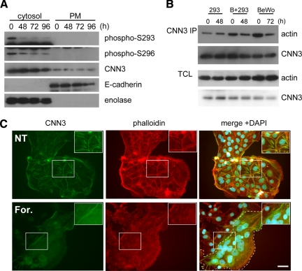 Phosphorylation status and subcellular distribution of endogenous CNN3. (A) Site-specific phosphorylation of CNN3. Each 20-μg sample of the cytosolic or plasma membrane (PM) fraction from BeWo cells was subjected to SDS-PAGE followed by Western blotting using antibodies against specific phosphorylation site at S293 or S296 (see Supplemental Fig. S3 for their specificity). Enolase (cytosol) and E-cadherin (PM) were used as the control for cell fractionation. (B) Coimmunoprecipitation of actin with CNN3. Endogenous CNN3 was immunopurified from BeWo and/or HEK293 cells after forskolin treatment. Immuno-purified CNN3 or total cell lysates (TCL) were analyzed by Western blotting for actin or CNN3. (C) Dissociation of endogenous CNN3 from actin cytoskeleton in BeWo cell fusion. CNN3 was immunostained using rabbit anti-CNN3 IgG, and the cells were visualized by Alexa Fluor 488-conjugated secondary antibody (green). Subsequently, Alexa Fluor 568-conjugated phalloidin (red) and DAPI staining was performed (blue). Endogenous CNN3 in multinucleated BeWo cells was dissociated from actin cytoskeleton after forskolin treatment. Broken line shows the periphery of syncytium. Scale bar: 50 μm.
