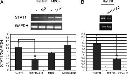 STAT1 mRNA is down-regulated in activated Raf:ER cells. (A) MDCK or Raf:ER cysts grown in collagen were treated with either HGF or 4HT. (B) Raf:ER cysts were treated with both HGF and 4HT for 72 h. STAT1 mRNA levels were analyzed by RT-PCR using GAPDH as an internal control (mean ± SEM, n = 3). *p
