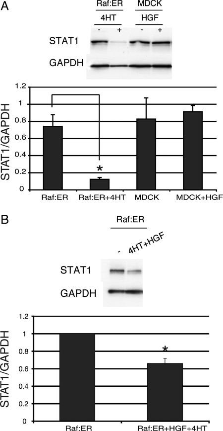 STAT1 is down-regulated in activated Raf:ER cells. (A) Protein levels of STAT1 were assayed in either 48-h HGF-treated MDCK or 4HT-treated Raf:ER cysts by immunoblot. (B) Raf:ER cysts treated with the combination of 4HT and HGF were lysed and blotted for STAT1. GAPDH was used as a loading control. The relative decrease of STAT1 is shown (mean ± SEM, n = 3). *p