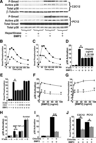 Heparitinase treatment and blockade of sulfation diminish responses of cultured cells to BMP2. (A) Smad phosphorylation and p38 MAPK activation in mouse C2C12 and rat PC12 cells. Cells maintained in serum-free medium were treated with human recombinant BMP2 at 5 ng/ml for 1 h. Where indicated, cultures also were treated with 25 mIU/ml heparitinase 1 h before BMP addition and throughout the remainder of the assay. Cells lysates were subjected to <t>immunoblotting</t> for phospho-Smad1/5/8 (P-Smad) and active p38. Total Smad, total p38, and β-tubulin served as loading controls. (B and C) Kinetic profiles of BMP-induced Smad phosphorylation. C2C12 (B) or PC12 cells (C) were treated with heparitinase for 1 h, and BMP2 (5 ng/ml) was added. Cell lysates were collected at indicated time points and subjected to immunoblotting for P-Smad. Data are normalized to loading controls. (D and E) Exogenous heparin does not rescue cells from the effect of heparitinase treatment. C2C12 cells were treated with heparitinase for 1 h, and BMP2 (5 ng/ml), or BMP2 and heparin (3–100 μg/ml) were added for a subsequent hour. Cell lysates were subjected to immunoblotting for active p38 (D) or P-Smad (E), and band intensities were quantified. Data are from duplicate cultures for each condition and are normalized to loading controls. Both activation of p38 and Smad in response to BMP2 were substantially lower in heparitinase-treated cells than in untreated cells (*p