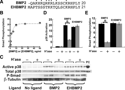 "A non-heparin binding BMP2 variant is resistant to heparitinase treatment. (A) Comparison of the N-terminal sequences of BMP2 and the engineered variant EH-BMP2, in which the first 12 amino acids have been replaced ( Ruppert et al. , 1996 ). Cationic residues in BMP2 are labeled with dots. (B) BMP2 and EHBMP2 are equal in potency. C2C12 cells were stimulated for 1 h with either BMP2 (circles) or EHBMP2 (triangles) at the indicated concentrations, lysed and subjected to immunoblotting for P-Smad. (C–E) Effect of heparitinase on p38 activation and Smad phosphorylation in BMP2- or EHBMP2-stimulated C2C12 cells. Cells were treated with heparitinase for 1 h and stimulated with either BMP2 or EHBMP2 for 1 h before sample preparation. Cell lysates were subjected to immunoblotting (panel C) for active p38 or P-Smad, with total p38 and β-tubulin serving as loading controls, and osmotic shock (sorbitol; 250 mM) as a positive control for active p38 (lane labeled ""PC""). Band intensities were quantified and normalized to loading controls. In D and E, these data are plotted as mean values ± SD for each of the duplicate determinations shown in C. Significant effects of heparitinase on p38 activation and Smad phosphorylation are seen for BMP2-treated cells (*p"