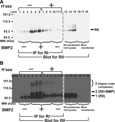 Assembly of heteromeric receptor complexes is HS-dependent. (A) C2C12 cells stably expressing BMPRII-myc were transiently transfected with BMPRIA-HA. After treatment with or without heparitinase for 1 h, BMP2 (10 ng/ml) was added for 2 h at room temperature and cross-linked for 30 min with BS 3 . Cell lysates were immunoprecipitated with anti-HA antibodies and precipitates were subjected to SDS-PAGE and immunoblotting with anti-myc antibodies. The arrow shows the location of BMPRII-myc (75 kDa), as readily visualized in the blot of total cell lysates. (B) Long exposure of the blot in panel A. Arrow 1 shows the location of BMPRII. Arrow 2 marks bands with molecular weight corresponding to cross-linked BMPRII-BMP complexes (93 kDa). Larger bands, consistent with complexes containing BMPRI and BMPRII are also indicated (bracket 3).