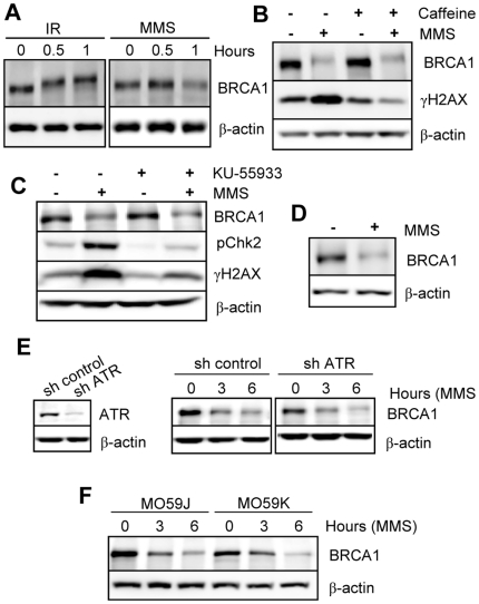 The DNA damage-activated PIKKs family members ATM, <t>ATR</t> and DNA-PK are not required for downregulation of BRCA1. A) Immunoblotting detection of BRCA1 in HeLa cells treated with 10 Gy IR or 200 µM MMS. B) BRCA1 downregulation is not blocked by caffeine. Immunoblotting detection of BRCA1 in HeLa cells pre-treated with 10 mM caffeine for 30 min prior to 200 µM MMS treatment for 6 hrs. C) The downregulation of BRCA1 is not prevented by the ATM inhibitor (KU-55933). Immunoblotting detection of BRCA1 in HeLa cells pre-treated with 10 µM KU-55933 for 30 min prior to 200 µM MMS treatment for 6 hrs. γH2AX and pChk2 detection were used as controls to confirm inhibition of ATM and/or ATR kinases. D) BRCA1 is downregulated in ATM-deficient human fibroblasts. Cells were treated with 200 µM MMS treatment for 6 hrs and harvested for immunoblotting. E) Depletion of ATR by RNAi does not prevent BRCA1 downregulation by MMS. Left , immunodetection of ATR following <t>shRNA</t> constructs transfection and puromycin selection. Right , ATR-depleted cells were treated with 200 µM MMS and harvested at the indicated times for immunoblotting. F) BRCA1 is downregulated in DNA-PKcs deficient cells. Glioblastoma DNA-PKcs proficient (MO59K) or deficient (MO59J) were treated with 200 µM MMS and harvested at the indicated times for immunoblotting.
