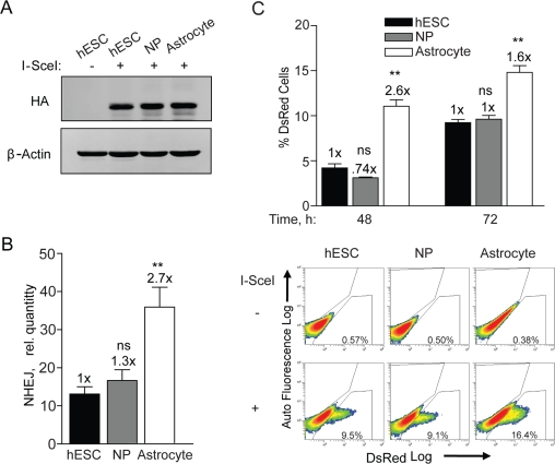 NHEJ occurs with faster kinetics after terminal differentiation. ( A ) hESCs, NPs and astrocytes were seeded and 12 h later infected with Ad-SceI at an MOI of 100. Expression of HA-tagged I-SceI was examined in samples harvested 24 h after infection. ( B ) BG01V/-, NP/-, and astrocyte/NHEJ-red cells were infected with Ad-SceI and collected 24 h later. (Columns) Relative NHEJ levels were determined by genomic DNA qPCR and normalized to β-actin levels; (Error bars) SEM for data sets n = 3. Fold (x) indicates changes in the relative repair levels when compared to the hESC sample. *p