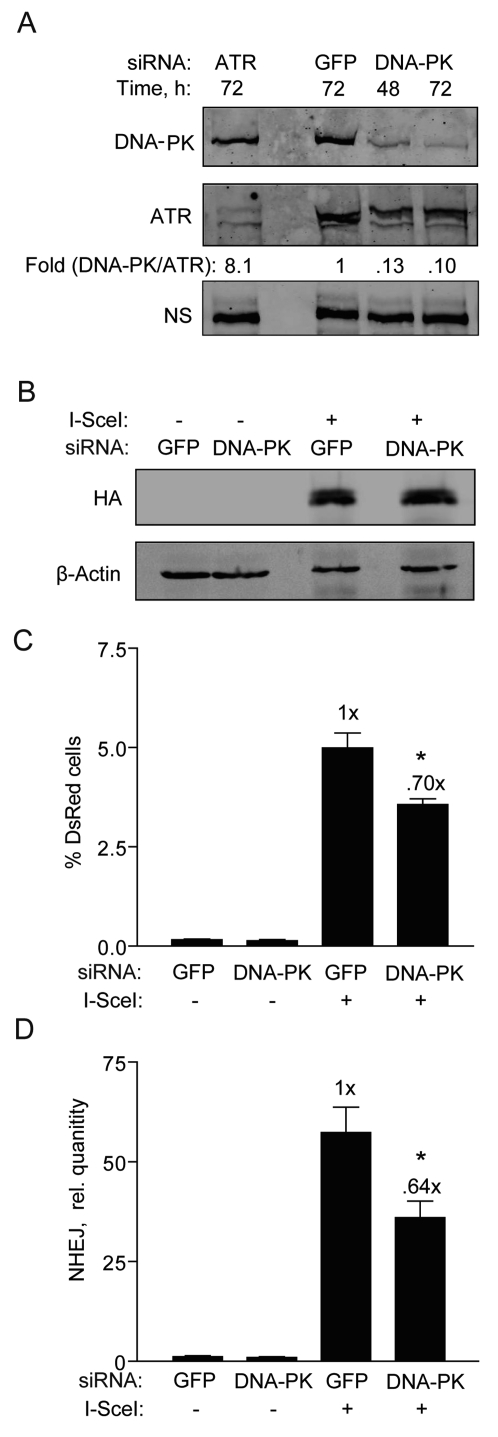 DNA-PKcs knockdown partially reduces NHEJ in hESCs. ( A ) Western blot showing DNA-PKcs expression 48 and 72 h after transfection of BG01V cells with GFP control siRNAs or siRNAs targeting DNA-PKcs or ATR [ 5 ]. The fold change in DNA-PKcs was calculated after normalization to ATR which served as a loading control together with a non-specific (N.S.) band. ( B ) Western blot showing HA-SceI levels in BG01V cells 48 h after infection which occurred 48 h after knockdown. ( C ) BG01V/NHEJ-red cells were infected with Ad-I-SceI at 30 MOI, 48 h after knockdown. DsRed events were determined by FACS 48 h after infection. (Columns) % DsRed+ cells with 10,000 events collected; (Error bars) SEM for data sets n = 3. ( D ) BG01V/NHEJ-red cells were infected with Ad-I-SceI at an MOI of 30 48 h after knockdown. Cells were collected at 24 h post-infection. (Columns) Relative NHEJ levels were determined by genomic DNA qPCR and normalized to β-actin levels; (Error bars) SEM for three samples. Fold (x) and statistical significance indicates changes in the relative repair levels compared to the siGFP sample.