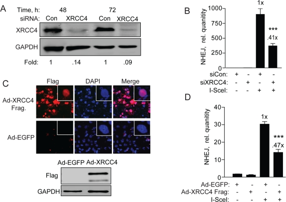 XRCC4 knockdown and expression of a XRRC4 decoy partially reduces NHEJ in hESCs ( A ) XRCC4 knockdown and NHEJ in hESCs. Western blot analysis of extracts with XRCC4 antibody was carried out 48 and 72 h after transfection of BG01V/NHEJ-red cells with non-targeted control siRNAs or siRNAs targeting XRCC4. The fold change in XRCC4 levels was calculated after normalization to GAPDH which served as a loading control. ( B ) BG01V/NHEJ-red cells were infected with Ad-I-SceI at 30 MOI, 48 h after knockdown. Cells were collected at 24 h post-infection for genomic DNA qPCR to determine repair. ( C ) XRCC4 decoy reduces NHEJ in hESCs. Immunocytochemistry ( top panel ) and western blot ( bottom panel ) of BG01V/NHEJ-red cells 48 h after infection with the Ad-Flag-XRCC4 115-293 virus described previously [ 31 ], or an EGFP expressing adenovirus. ( D ) BG01V/NHEJ-red cells were infected with either adenovirus for 48 h and then infected with Ad-SceI and harvested 24 h later. (Columns) Relative NHEJ levels were determined by qPCR and normalized to β-actin levels (Error bars) SEM of three samples. Fold (x) and statistical significance indicate changes in the relative repair levels as compared to those in the I-SceI-expressing cells treated with non-targeting control siRNA.
