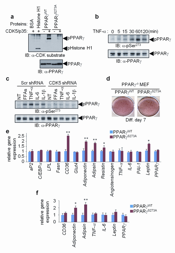 Specific fat cell gene dysregulation by the cdk5-mediated S273 phosphorylation of PPARγ a , In vitro CDK assays performed using cdk5/p35 with either wild type (WT) or S273A mutated PPARγ. b , Phosphorylation of PPARγ in differentiated 3T3-L1 adipocytes stimulated with TNF-α for the indicated times. c , Phosphorylation of PPARγ in cells expressing scrambled or CDK5 shRNA stimulated with indicated cytokines. NT, no treatment. d , Staining of PPARγ-null fibroblasts expressing WT or S273A mutant PPARγ with Oil-Red-O. e , Gene expression in these cells was analyzed by real-time quantitative PCR (qPCR) for expression of various genes (n=3). f , mRNA expression in transplanted fat pads was analyzed by qPCR (n=5) (Error bars are s.e.m.; * p