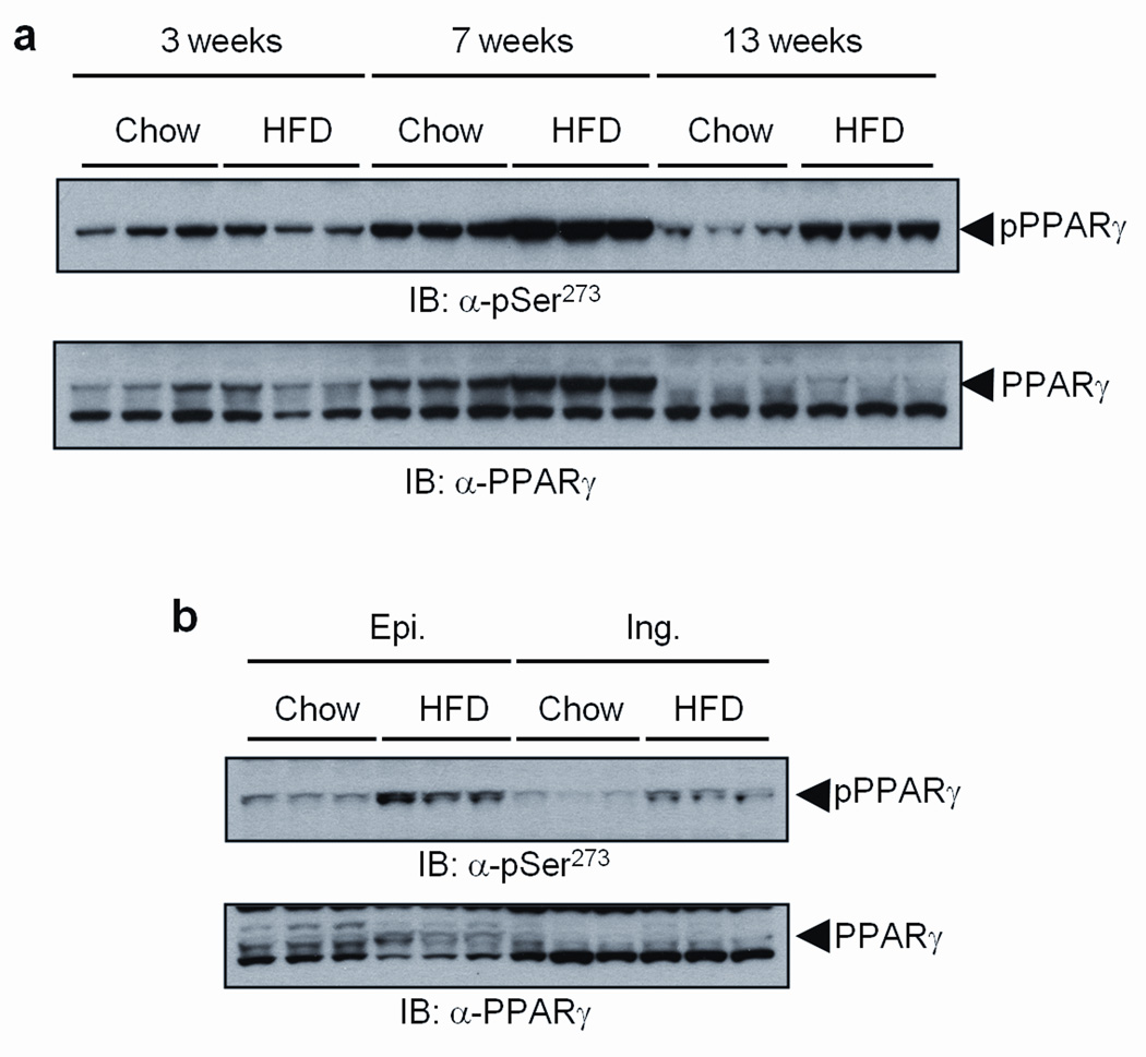 CDK5-mediated phosphorylation of PPARγ is increased in fat tissues of high fat diet fed mice (HFD) a , White adipose tissue (epididymal) from mice on HFD for the indicated time was analyzed with phospho-S273 PPARγ and PPARγ antibodies. b , Epididymal (Epi.) or inguinal (Ing.) fat tissue from 13 weeks HFD mice was analyzed with phospho-S273 antibody.