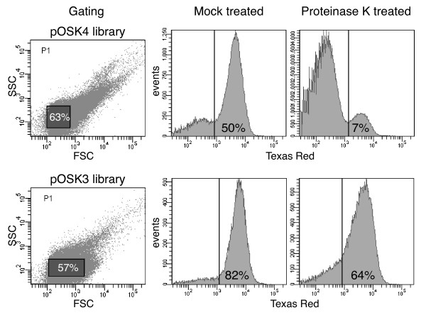 FACS plots of OspA:mRFP1 mutant populations . Both pOSK4 (pRJS1009-based) and pOSK3 (pRJS1016-based)  B. burgdorferi  libraries were assayed. The two panels to the left indicate the gating used. Forward scatter (FSC) is plotted against side scatter (SSC). The percentage of events, i.e. cells inside the gated population (shaded rectangles) is indicated. The four panels to the right show the distribution of presorted, i.e. OspA:mRFP1-expressing fluorescent cells upon treatment with proteinase K. Mock treated cells were incubated in buffer only. Fluorescence measured via a Texas Red filter is plotted against number of events, i.e. cells. The vertical line indicates the cut-off fluorescence for sorting. The percentage of events within the fluorescent population is indicated.