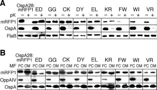 Phenotypical analysis of select OspA:mRFP1 fusion mutants . Representative Western blots of select mutants are shown (see Additional File   2 -Figures S1 and S2 for full data set). Mutant-specific amino acid sequences are listed in single letter code above the blots. OspA28:mRFP1 and OspA20:mRFP1 (ED) were included as controls. (A) Protein expression and protease accessibility. Whole cell lysates of  B. burgdorferi  expressing mutant OspA:mRFP1 fusions from an identical P flaB  promoter (Figure 1) were obtained before (-) or after (+)  in situ  treatment with proteinase K (pK). A polyclonal antiserum against mRFP1 was used to detect the OspA:mRFP1 fusions. Constitutively expressed periplasmic FlaB was used as a control for loading (to normalize signals within samples) as well as for subsurface localization (negative control). OspA served as a surface control. Untreated (-pK) samples were used to assess protein expression/ in vivo  stability of OspA:mRFP1 fusions. (B) Distribution of proteins to inner or outer membranes. Protoplasmic cylinder (PC) and outer membrane vesicle (OM) fractions from  B. burgdorferi  expressing mutant OspA:mRFP1 fusions were probed with a polyclonal antiserum against mRFP1 to detect the OspA:mRFP1 fusions. IM-localized lipoprotein OppAIV was used as a PC-specific control. Surface lipoprotein OspA was used as an outer membrane control. Note that the PC fraction also contains intact cells, i.e. also contains OM proteins.