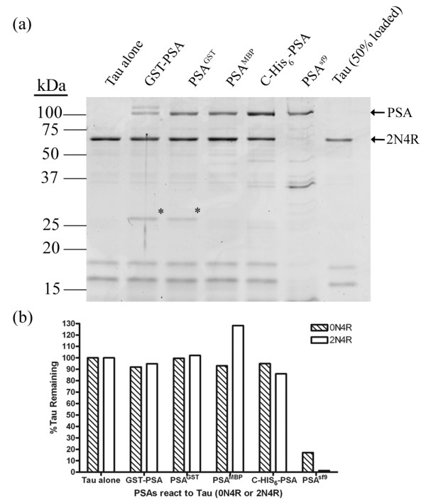 Reaction of Tau with various forms of PSA . Same amount of PSA activity was reacted with Tau 2N4R or Tau 0N4R in 10 mM Tris buffer, pH 7.5, 1 mM DTT at 37°C for 16 h. (a). Reaction mixtures were analyzed by SDS-PAGE, only Tau 2N4R is shown. (b). For quantitation, the intensity of Tau remaining was determined using ImageJ software [ 26 ]. For internal control, a 50% Tau alone (last lane) was run and the band intensity shown to be ~50% of the input Tau (first lane). Further, by analyzing the staining intensity of the PSA bands we calculated that the variation in the amount of PSA added in each lane varied less than 4%. For the GST-PSA lane, both GST-PSA and free PSA were present. Their intensities were combined to get total PSA. * = free GST.