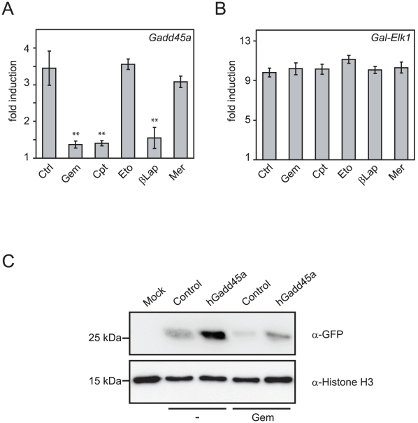 Gemcitabine inhibits Gadd45a mediated gene activation. ( A–B ) Luciferase reporter assays of HEK293T cells transiently transfected with HpaII in vitro methylated Gal-responsive reporter, together with either Gadd45a (A) or Gal-Elk1 (B, specificity control). Cells were treated with DMSO (control, Ctrl), gemcitabine (Gem), camptothecin (Cpt), etoposide (Eto), β-lapachone (βLap), merbarone (Mer) as indicated. Shown is the fold activation by Gadd45a (A) or Gal-Elk1 (B) over control transfected cells. Error bars represent standard deviation. Significance was assessed via unpaired Student's t-test using the control sample as reference: ** = p