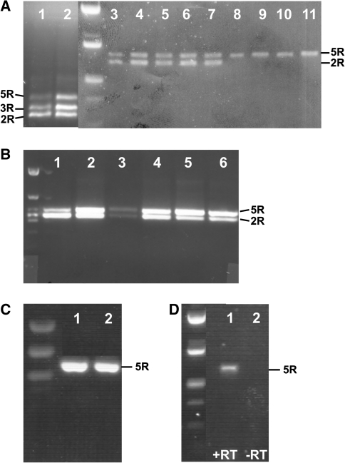 PCR amplification with PRNP -specific primers on samples of genomic DNA ( a – c ) and total brain cDNA ( d ) resolved on 1% agarose gels. In panel a , lanes 1 and 2 were amplified with the 'short' primer pair, all other lanes with the 'long' primer pair; in panels b , c and d the 'long1' primer pair was applied (see ' Materials and Methods '). All PCR products were sequenced to determine the number of repeats. 2R, 3R and 5R correspond with the presence of 2, 3 and 5 (or 6 in tenrec) repeats. a Lanes 1 – 7 , red squirrels ( S. vulgaris ) from different localities in the Netherlands; lane 8 , human ( Homo sapiens ); lane 9 , black rhino ( Diceros bicornis ); lane 10 , Indian elephant (Elephas maximus); lane 11 , tenrec ( Tenrec ecaudatus ). b Lanes 1 – 6 , red squirrels ( S. vulgaris ) from Germany, Spain, Wales, Italy, Eastern Siberia and the Netherlands, respectively. c Lane 1 , grey squirrel ( S. carolinensis ); lane 2 , Japanese squirrel ( S. lis ). d cDNA from red squirrel ( S. vulgaris ) brain; +RT and −RT indicates the presence or the absence, respectively, of reverse transcriptase during cDNA synthesis