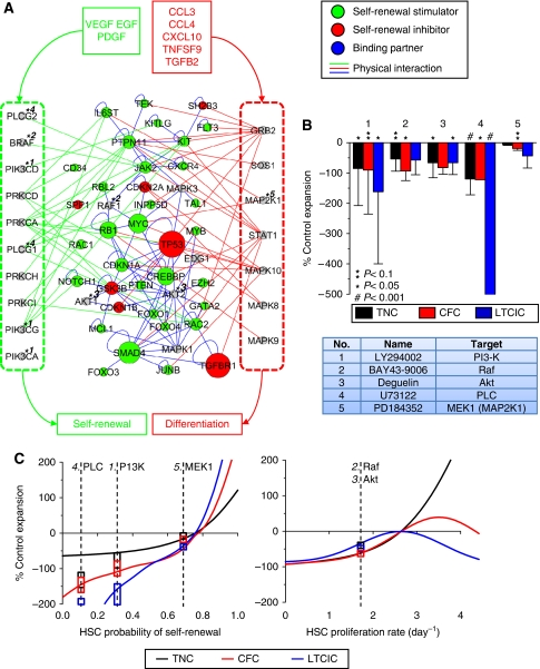 Integration of endogenous regulatory signals in the HSC intracellular self-renewal network. ( A ) Endogenous secreted stimulators (VEGF, EGF, PDGF, and 5HT1) and inhibitors (CCL3, CCL4, CXCL10, TNFSF9, and TGFB2) activate cell surface receptors on HSCs, inducing signal transduction events, which are coherently processed by the intracellular network to modulate rates of self-renewal versus differentiation. Common signal transduction molecules shared by stimulatory pathways (left; green box), inhibitory pathways (right; red box), and both (center) are densely connected to known self-renewal effector genes. Physical protein–protein interactions from stimulatory and inhibitory pathways are represented as green and red edges, respectively, whereas internal interactions are represented as blue edges. ( B ) Five small molecule antagonists, described in the table with targets indicated by numbers on the network, were tested for functional effects on 8-day fold expansions of total cells (TNC), progenitors (CFC), and primitive progenitors (LTCIC) with respect to control cultures. ( C ) To classify the functional activities of the molecules, culture simulations were run over a feasible range of HSC self-renewal probabilities and proliferation rates. On the basis of ΔWRSS ranking of effects on TNC, CFC, and LTCIC output, inhibition of PI3K and Raf, reduces self-renewal, whereas inhibition of Akt reduces proliferation. Experimental data is overlaid for visual depiction of the model-based functional classifications of the kinase inhibitors. Boxes indicate ±1 s.d., overlaid at estimated effects levels.