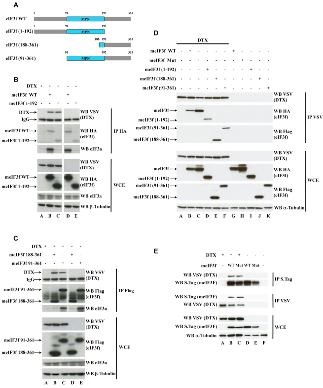 Interactions of eIF3f and DTX. (A) Schematic representation of murine eIF3f deletion mutants. The conserved MPN domain is depicted in blue; amino acid coordinates are indicated. (B) HEK293T cells were cotransfected with vectors encoding HA-tagged eIF3f WT or (1–192), and VSV-tagged DTX. Whole cell extracts (WCE, 5% of the lysates) were either directly blotted with antibodies indicated on the right of the lanes or immunoprecipitated first with anti-HA antibody. β-tubulin was used as a loading control. (C) HEK293T cells were cotransfected with vectors encoding Flag-tagged eIF3f (188–361) or (91–361), and VSV-tagged DTX. WCE (5%) were either directly blotted with antibodies indicated on the right of the lanes or immunoprecipitated first with anti-Flag antibody. β-tubulin was used as a loading control. (D) HEK293T cells were cotransfected with vectors encoding the various eIF3f mutants and VSV-DTX. WCE were immunoprecipitated with anti-VSV antibody, and the precipitates were eluted with VSV peptide before being loaded on SDS gels. The eluted material and the WCE (5% of the lysates) were analyzed by Western blotting with antibodies indicated on the right of the lanes. α-tubulin was used as a loading control. (E) Stable cell lines derived form MEFs by retroviral transduction of VSV-DTX or S-tagged eIF3f (either WT or active site mutant) were lysed and subjected to parallel immunoprecipitations with VSV and S-tag antibodies as indicated. The VSV- or Laemmli-eluted material (for VSV and S-tag IPs, respectively) and the WCE (5% of the lysates) were analyzed by Western blotting with antibodies indicated on the right of the lanes. α-tubulin was used as a loading control. White lines indicate that intervening lanes have been spliced out.