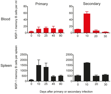 MSP1-specific IgG memory B cells are detectable in peripheral blood in low numbers. The frequencies of MSP1-specific IgG memory B cells were determined by in vitro cultured ELISpot assays as described in the experimental procedures. The frequencies of MSP1-specific IgG memory B cells in peripheral blood and spleen following both a primary and secondary infection are presented as memory B cells per ml of blood and per spleen respectively. The values and error bars shown are the means and the standard errors of the mean (SEM) of 5 to 7 mice.