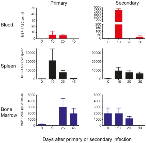 MSP1-specific <t>IgG</t> antibody-secreting cells (ASC) appear transiently in peripheral blood during infection. The frequencies of ASC were determined by direct ELISpot assays as described in the experimental procedures. The numbers of MSP1-specific IgG ASC in peripheral blood, spleen and bone marrow following both a primary and secondary infection are presented as ASC per ml of blood, per spleen and per two femurs respectively. The values and error bars shown are the means and the standard errors of the mean (SEM) of 5 to 7 mice.