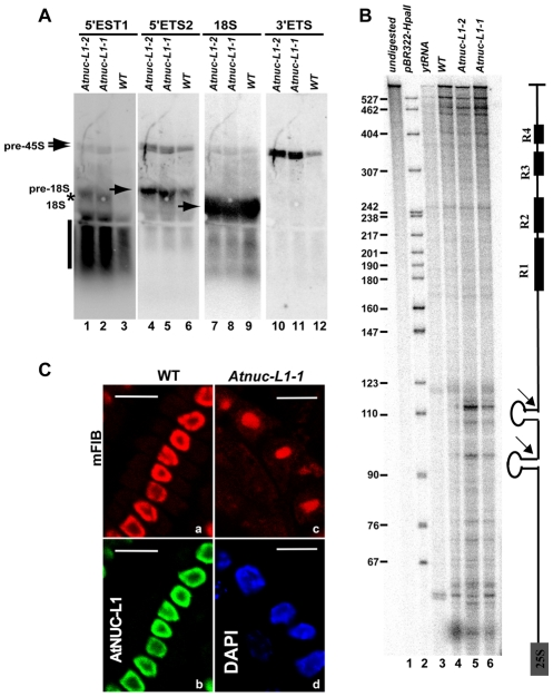 Processing of accumulated pre-rRNA in  Atnuc-L1  mutant plants is accurate. A) Northern blot analysis using total RNA isolated from WT and Atnuc-L1-1 mutant plants and [γ 32P ] 5′-end labeled primers p34, p35, p36 and p41 to detect 5′ETS1 (lanes 1–3), 5′ETS2 (lanes 4–6), 18S (lanes 7–9) and 3′ETS (lanes 10–12) pre-rRNA sequences respectively. The asterisk and vertical bar indicate expected 5′ETS cleave off and exonucleolityc products (See also   Figure S4 ). B) RNAseA/T1 protection analysis was carried out with a radiolabelled probe complementary to the 3′ETS (right). The assay was performed with total RNA from WT (lane 4) and Atnuc-L1 (lanes 5 and 6) or with yeast tRNA as a control (lane 3). A control lane loaded with undigested riboprobe is shown (lane 1). Lane 2, pBR322 digested with HpaII and 5′end labeled with T4 PNK and [γ 32P ] ATP. C) Immunolocalization of fibrillarin in roots from WT and Atnuc-L1-1. Panel mFIB; Fibrillarin appears more abundant in the nucleolus of WT (a) than in the disorganized nucleolus of Atnuc-L1 plants (c)   [18] . The nucleolar localization of fibrillarin practically overlaps the localization of AtNUC-L1 (b). Fibrillarin was detected with antibodies against mouse fibrillarin (mFIB 72B9) and Alexa-546 and AtNUC-L1 with antibodies against peptide AtNUC-L1 and Alexa-488. Chromatin in Atnuc-L1-1 is counterstained with DAPI (d). Bar, 10 µm.