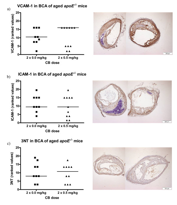 Expression of VCAM-1 and ICAM-1 on the endothelium and the presence of 3-nitrotyrosine (3NT) in the vascular tissue of brachiocephalic arteries (BCA) from 48-49 weeks old apoE -/- mice exposed to carbon black by i.t. instillation . The antibodies used were HRP-streptavidin conjugated and visualized with DAB. On the left, the data are depicted as geometric means of ranked values representing the amount of staining assessed in 4 sections of aorta from each animal. The medians are represented by horizontal lines (n = 9-11); each symbol represent the result from one animal. On the right, images are shown of BCA sections representative of the medians in the control group (left) and the exposed group (right). Binding of antibodies can be seen as brown staining of the tissue.