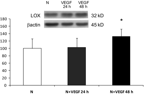 Western blot analysis of LOX protein levels in RRECs grown in normal (N) medium and stimulated with VEGF for 24 or 48 h. Graph shows LOX protein level was not significantly changed in cells stimulated with 25 ng/ml of VEGF for 24 h, although after 48 h of VEGF stimulation, LOX expression was significantly increased compared with cells grown in normal medium. Data are presented as mean ± SD (* P