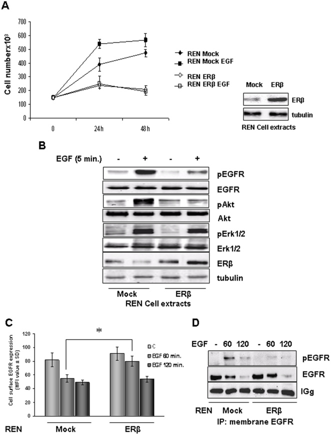 ERβ over-expression influences EGFR mediated signaling and internalization. A ) The graph show the growth curves of mock- and ERβ-transfected REN cell treated for 24 and 48 hours with 5 ng/ml of EGF in 2% FBS culture medium. At each time point, the cells were assayed for proliferation. Each value represents mean ± SD (n = 3). Adjacent to the graph is reported a representative Western blot analysis that documents ERβ expression. Tubulin staining indicates equal loading of the proteins. B ) Mock- and ERβ- transfected REN cells made quiescent for 2 hours were treated with 5 ng/ml of EGF for 5 minutes and detergent extracted. Levels of phosphorylated EGFR, ERK 1/2 MAP kinases and Akt were analyzed by immunoblotting. Membranes were also blotted with antibodies to EGFR, Erk1/2 and Akt to evaluate protein expression. Tubulin was blotted to show equal amount of loading. Western blot analysis with anti ERβ antibodies documents its expression in transfected cells. Representative of three separate experiments. C ) Evaluation of EGFR internalization was performed by Flow cytometry analysis on wild type and ERβ expressing REN cells treated 60 or 120 minutes with 10 ng/ml of human recombinant EGF. Histograms represent percentage of positive cells following incubation with anti-EGFR antibody indicated for each condition ± SD. Data are representative of three separate experiments. D ) Representative immunoprecipitation experiment of membrane associated EGFR performed on mock and ERβ over-expressing REN cells, treated 60 or 120 minutes with 10 ng/ml of human recombinant EGF. Membrane was blotted with anti-pY and anti-EGFR antibodies.
