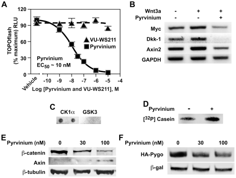 Pyrvinium inhibits Wnt signaling. ( A ) Pyrvinium inhibits TOPflash activation with an EC 50 of ∼10 nM in contrast to the structurally related compound VU-WS211. HEK 293 STF (TOPflash) luciferase reporter cells incubated with Wnt3a-conditioned media were treated as indicated. Graph represents mean ± SEM of TOPflash signal normalized to cell number (performed in quadruplicate). ( B ) Pyrvinium (100 nM) decreases transcript levels of endogenous Wnt target genes Myc, Dkk-1, and Axin2 as assessed by real-time PCR. GAPDH is control. ( C ) Pyrvinium binds CK1α in vitro . CK1α and GSK3 (0.5 µg each, in duplicates) were spotted on nitrocellulose, incubated with pyrvinium (10 nM), and bound pyrvinium detected based on its fluorescent property. ( D ) Pyrvinium stimulates CK1α activity. CK1α (100 nM) was incubated with recombinant casein (100 nM) plus or minus pyrvinium (10 nM) in a kinase reaction containing [γ 32 P]ATP followed by SDS-PAGE and exposure to PhosphoImager screen. ( E ) Pyrvinium decreases and increases intracellular β-catenin and Axin levels, respectively. HEK 293 cells were treated for 16 hours as indicated, and cytoplasmic preparations were immunoblotted for β-catenin and Axin. β-tubulin is loading control. ( F ) Pyrvinium decrease steady-state levels of Pygopus. HEK 293 STF cells expressing HA-tagged human Pygopus-2 were treated with pyrvinium as indicated. Lysates were immunoblotted for HA. β-galactosidase (β-gal) is transfection control.