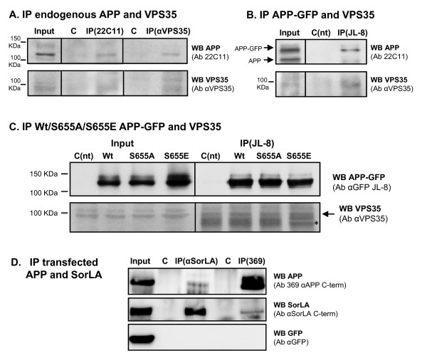 Co-immunoprecipitation of APP, VPS35 and SorLA in COS-7 and HEK293 cells . (A) Endogenous APP and VPS35 were co-immunoprecipitated in COS-7 cells using the anti-APP N-terminus 22C11 and the anti-VPS35 antibodies (αVPS35). Negative controls (C) were performed by immunoprecipitating cells with the same secondary antibodies, sepharose- (IP VPS35 control) and agarose- (IP 22C11) linked, respectively. (B) Transfected Wt APP-GFP and endogenous VPS35 co-immunoprecipitate from COS-7 cells using the indicated antibodies (Ab). (C) Transfected Wt, S655A and S655E APP-GFP were immunoprecipitated in COS-7 cells with the anti-GFP antibody, and the co-immunoprecipitated endogenous VPS35 forms were detected with an anti-VPS35 antibody. Asterisk (*), non-specific IgGs bands (IgGs raised in goat) of the IP samples. Non-transfected cells (C(nt)) submitted to the same IP procedures (incubated with primary and agarose-linked secondary antibodies) were used as control in (B) and (C) . (D) HEK293T cells were cotransfected with SorLA cDNA, APP 695 and eGFP (transfection control). Immunoprecipitation was performed using antibodies raised against the C-terminus of APP (369), the N-terminus of SorLA (αSorLA) or using pre-immune serum as negative controls (C). Immunoprecipitation and co-immunoprecipitation were detected by western blot (WB) using the anti-APP 369 antibody and an anti-SorLA C-terminus antibody (αSorLA C-term). Immunoblot analysis included GFP as an additional negative control.