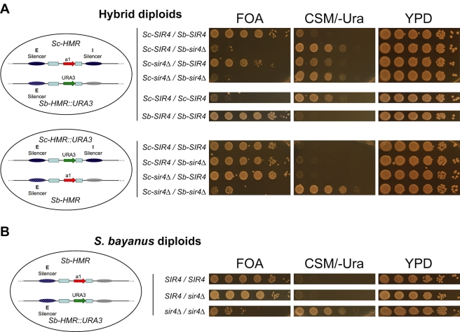 Incompatibility between S. cerevisiae SIR4 and S. bayanus HMR in S. cerevisiae/S. bayanus interspecies hybrids. (A) Silencing of the Sb-HMR::URA3 reporter gene (top panel) or the Sc-HMR::URA3 reporter gene (bottom panel) in S. cerevisiae/S. bayanus hybrids was assayed by growth on selective media. For each strain, a 10-fold dilution series of yeast cells was spotted onto medium counter-selective for URA3 expression (FOA), selective for URA3 expression (CSM/-Ura), or rich medium (YPD). Schematics at left show the configurations of the salient features of two species' HMR loci in each hybrid strain: silencers (ovals), mating-type cassette homology regions (blue boxes), HMR a 1 ORF (red arrow), and URA3 ORF (green arrow). Gray oval indicates the presumed location of the Sb-HMR-I silencer. Presence or absence ( Δ ) of the S. cerevisiae ( Sc ) and S. bayanus ( Sb ) SIR4 alleles are indicated to the right of schematics. See Table S1 for complete strain genotypes. (B) Silencing of the Sb-HMR::URA3 reporter gene in wild-type, SIR4/sir4Δ , or sir4Δ/sir4Δ S. bayanus diploids.