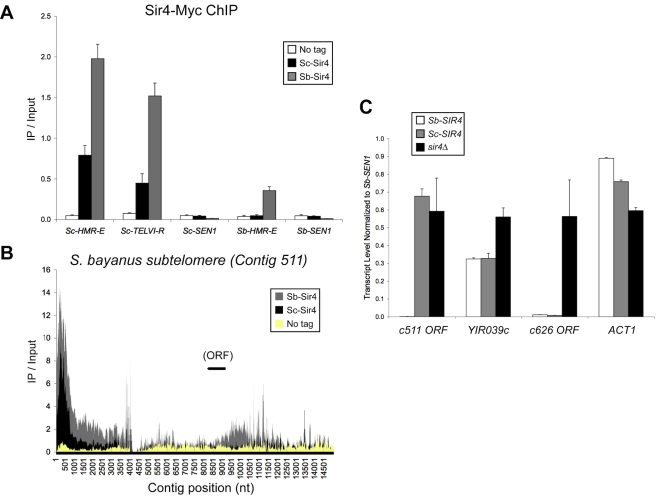 """Additional comparative Sir4 ChIP and expression analyses. (A) ChIP-qPCR analysis of Sc-Sir4 versus Sb-Sir4. For each primer set, the IP/Input ratios for Sc-Sir4 (JRY9062), Sb-Sir4 (JRY9063), and the """"No-tag"""" control (JRY9054) are shown. Error bars show standard deviations ( n = 3). (B) ChIP-Seq analysis of Sc-Sir4 versus Sb-Sir4 association on an S. bayanus contig containing subtelomeric sequence (GenBank accession number AACG02000166). Hybrid strains used in this analysis were identical to those used in Figures 4B and 5A: Sc-Sir4, JRY9062; Sb-Sir4, JRY9063; No tag, JRY9054. Per-base IP/Input ratios, determined as in Figure 4B , are plotted versus contig position. We note that the terminal TG 1–3 repeats are not present in the current S. bayanus genome assembly [77] . (C) RNA expression analysis of putative S. bayanus subtelomeric genes. Quantitative RT-PCR was performed on RNA isolated from S. bayanus wild-type ( Sb-SIR4 ), Sb-sir4Δ::Sb-SIR4 ( Sc-SIR4 ), or sir4Δ strains. The actin gene ( ACT1 ) served as a euchromatic control gene. Error bars show standard deviations ( n = 3)."""