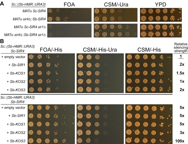 """Partial reconstitution of Sb-HMR silencing in S. cerevisiae by transfer of S. bayanus Sir4 and Kos3 proteins. (A) Top panel: Silencing of the Sc::(Sb-HMR::URA3) replacement allele in S. cerevisiae MAT α haploids bearing either the endogenous Sc-SIR4 gene or an integrated Sb-SIR4 gene (top panel). Bottom panel: Silencing of the Sc::(Sb-HMR::URA3) replacement allele in the absence of Sc-SIR1 . (B) S. cerevisiae strains bearing the Sc::(Sb-HMR::URA3) replacement allele, and either the endogenous Sc-SIR4 gene or an integrated Sb-SIR4 gene, were transformed with plasmids encoding individual S. bayanus Sir1 paralogs and assayed for silencing function (FOA/-His, CSM/-His-Ura, or CSM/-His indicate silencing reporter media also selective for maintenance of plasmids bearing the HIS3 marker). Quantification of relative silencing function, based on growth on FOA/-His, is indicated at right. Fold-change comparisons were made relative to the Sc::(Sb-HMR::URA3) Sc-SIR4 strain bearing an empty vector (row 1). We note that the CEN/ARS plasmid itself appeared to enhance Sb-HMR silencing relative to the untransformed strains (compare Figure 8B , """"empty vector"""" rows, to Figure 8A , rows 1 and 2). However, relative comparisons among transformed strains were still possible."""