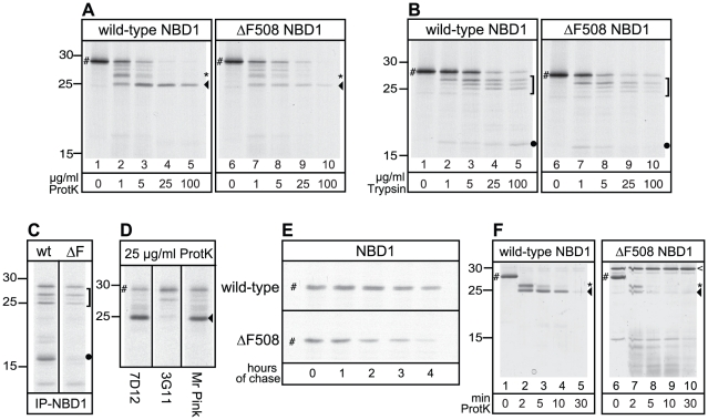 """The effect of ΔF508 mutation on NBD1 alone. (A) Wild-type and ΔF508 NBD1 were  in vitro  translated for 30 min, treated with indicated proteinase K concentrations as in   Figure 1 , and analyzed using 15% SDS-PAGE. The full length NBD1 domain is indicated by """"#"""", the asterisk (*) indicates the 27 kDa fragment, arrowhead (◂) indicates the 25 kDa fragment. (B) Similar experimental conditions as described in A, but using TPCK-trypsin as protease. A bracket (]) marks the triplet of protease resistant fragments and the dot (•) marks the 17 kDa fragment. (C) Wild-type and ΔF508 NBD1 were synthesized as in A, treated with 100 µg/ml trypsin, and fragments were immunoprecipitated with antibody 7D12 against NBD1. Fragments are labeled similar as in B. (D) Wild-type NBD1 was synthesized as in A, treated with 25 µg/ml proteinase K, and fragments were immunoprecipitated with the 7D12, 3G11 and Mr Pink antibody, recognizing specific epitopes within NBD1. Fragments are labeled similar as in A. (E) CHO cells expressing wild-type or ΔF508 NBD1 were pulse-labeled with  35 S-methionine and cysteine for 5 min and chased for indicated times. NBD1 was immunoprecipitated using polyclonal antibody Mr Pink and analyzed using 15% SDS-PAGE. NBD1 indicated by """"#"""". (F) Purified human wild-type and ΔF508 NBD1, indicated by """"#"""", were incubated with 2 µg/ml Proteinase K for 0, 2, 5, 10 and 30 minutes at room temperature. Proteolytic digests were separated using 15% SDS-PAGE and visualized by silver staining. Asterisk (*) and arrowhead (◂) indicate 27 and 25 kDa fragments resp., and are similar as in A. The open arrowhead ("""