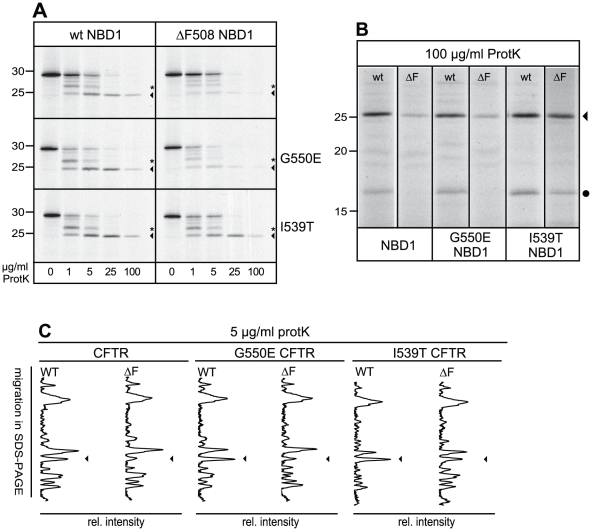 Rescue of NBD1 conformation by the I539T suppressor mutation. (A) Wild-type and ΔF508 NBD1 (top panel) mRNAs containing the G550E (middle panel) or I539T (bottom panel) mutation were  in vitro  translated in the presence of  35 S-labeled methionine and cysteine and analyzed by 15% SDS-PAGE after proteinase K treatment. Asterisk indicates the 27 kDa fragment, arrowhead indicates the 25 kDa fragment. (B) Longer exposure of the 100 µg/ml proteinase K digest of  in vitro  translated NBD1, from same experiment as shown in B, showing the rescue of the 17 kDa band by the I539T but not by the G550E mutation. Gel lanes are aligned on the 25 kDa bands. (C) CFTR molecules containing the indicated mutations were  in vitro  translated, analyzed using 12% SDS-PAGE and lanes were quantified as described in   Figure 1B . The arrowhead indicates the 25 kDa fragment, which has slightly decreased mobility when the I539T mutation is present.
