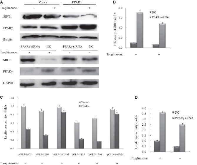 PPARγ directly regulates SIRT1 transcription. ( A ) Western blot analysis of SIRT1 and PPARγ expression in vector-transfected and PPARγ-transfected or NC-transfected and PPARγsiRNA-transfected HeLa cells with 20 μM troglitazone or DMSO (vehicle) for 48 h. Western blotting was performed using specific antibodies against SIRT1 and PPARγ as indicated. β-Actin or GAPDH was used as a loading control; NC, negative control. ( B ) Real-time PCR analysis of SIRT1 expression in NC-transfected and PPARγsiRNA-transfected HeLa cells with20 μM troglitazone or DMSO (vehicle) for 48 h. Each experiment was performed at least three times. Each bar depicts data from three independent PCR reactions (mean ± SD). ( C ) HeLa cells were transfected with expression plasmids pcDNA3.1 (vector) or pcDNA–PPARγ (PPARγ) together with wild-type SIRT1–Luc or mutant SIRT1–Luc. ( D ) HeLa cells were transfected with NC and PPARγsiRNA together with wild-type SIRT1–Luc. Cells were subsequently treated with 20 μM troglitazone. Luciferase activity was then measured 48 h after treatment. Values are the mean ±.SD of triplicate data points from a representative experiment ( n = 3), which was repeated three times with similar results.