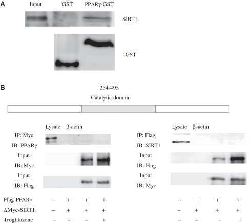 The catalytic domain of SIRT1 is required for the physical interaction of PPARγ and SIRT1. ( A ) Glutathione S-transferase (GST) pull-down assay shows that with PPARγ interacts directly with SIRT1 in vitro . Three milligrams of either purified GST or GST-PPARγ protein immobilized on glutathione 4B beads was incubated with in vitro translated SIRT1 for 2 h. After extensive washing, the beads were subjected to SDS–PAGE and probed with monoclonal SIRT1 antibody (upper panel). The lower panel shows the result of probing with monoclonal GST antibody. ( B ) HeLa cells were co-transfected with expression plasmids encoding Flag-tagged full-length PPARγ and deletion mutants of SIRT1. Immunoprecipitation and immunoblotting were performed 48 h post-transfection as indicated (+, present; –, absent).