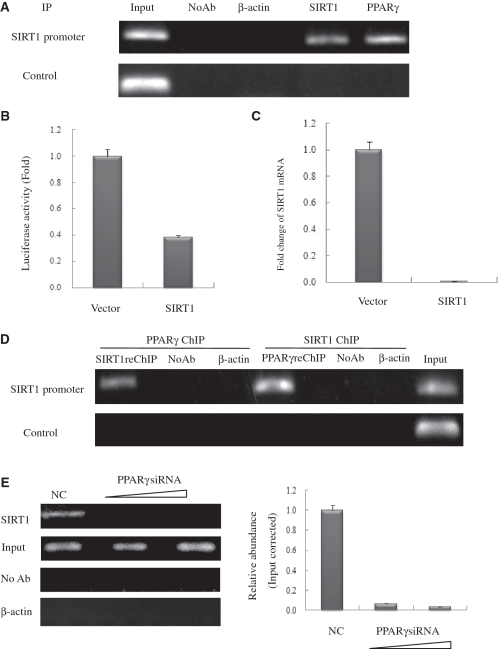 PPARγ interacts with the endogenous SIRT1 promoter and recruits SIRT1 in HeLa cells. ( A ) Soluble chromatin was prepared from HeLa cells for ChIP analysis of the SIRT1 promoter using antibodies indicated. Precipitated DNA samples were amplified by PCR using a pair of primers that amplify the –592 bp to –163 bp region with GAPDH as an unrelated primers control. ( B ) Luciferase reporter assay of the SIRT1 promoter in SIRT1 transfected HeLa cells. HeLa cells were transfected with expression plasmids vector and SIRT1 as shown, together with SIRT1–Luc. Luciferase activities were measured 48 h after treatment. Values are the mean ± SD of triplicate data points from a representative experiment ( n = 3), which was repeated three times with similar results. ( C ) Real-time quantitative PCR analysis of endogenous SIRT1 mRNA levels in SIRT1-transfected HeLa cells. HeLa cells were transfected with 10 µg of vector or pCDNA3.1-SIRT1. GAPDH transcript was used as a internal control. The error bar represents 1 SD. ( D ) ChIP-upon-ChIP assay showing the colocalization of PPARγ with SIRT1 at the SIRT1 promoter. Soluble chromatin was first immunoprecipitated with rabbit SIRT1 antibody, and the eluted product was re-immunoprecipitated with rabbit PPARγ antibody. ChIP-upon-ChIP assay was also performed with immunoprecipitation in reverse order, that is, PPARγ ChIP followed by SIRT1ChIP. ( E ) PPARγ recruites endogenous SIRT1 to its promoter in PPARγ knockdown cells in a dose-dependent manner. Real-time quantitative PCR verified the occurrence of recruitment. HeLa cells transfected with 10- or 20-nM PPARγ siRNA (triangle) were processed for ChIP uing SIRT1 antibody. The PCR primers amplified the SIRT1 promoter region as indicated in (A). For negative controls, a sample that did not contain antibody (No Ab) was immunoprecipitated, and antibody against β-actin was used as an unrelated antibody control.