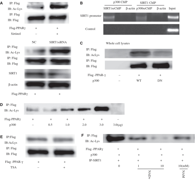 SIRT1 deacetylates PPARγ in vivo and in vitro . ( A ) Levels of PPARγ acetylation are increased by the SIRT1 inhibitor sirtinol or siRNA Knockdown of SIRT1. Where indicated, cells were treated for 24 h with 100 μM sirtinol or transfected SIRT1-targeting siRNA oligonucleotides for 24 h. PPARγ was immunoprecipitated (IP) from protein lysates using the Flag-epitope tag, and levels of acetylated PPARγ were determined by western blot (WB). ( B ) SIRT1 and p300 form complexes targeting SIRT1 to promoters. Untransfected HeLa cells were analyzed with sequential ChIP assay using SIRT1 and p300 antibodies. The PCR primers amplified the SIRT1 promoter region from –592 to –163 bp with GAPDH as an unrelated primers control, and antibody against β-actin was used as an unrelated antibody control. ( C ) Expression of p300 stimulates PPARγ acetylation. Levels of acetylated PPARγ were assessed in the presence of co-transfected p300 or an acetyltransferase-impaired mutant (p300DN). ( D ) Levels of PPARγ acetylation as a function of increasing amounts of transfected p300. ( E ) Endogenous PPARγ was acetylated in response to trichostatin A (TSA) for 8 h. Endogenous PPARγ was immunoprecipitated and subjected to western blot using antibodies directed against acetylated-lysine residues. The blot was reprobed for the total amount of PPARγ. ( F ) SIRT1 deacetylates PPARγ in vitro in an NAD-dependent manner. HeLa cells were transfected with expression plasmids encoding Flag-PPARγ and p300, and PPARγ was immunoprecipitated from protein lysates using the Flag-epitope tag. SIRT1 from cells overexpressing SIRT1 was purified by immunoprecipitation and added to immunoprecipitated PPARγ for 1 h in the presence or absence of indicated concentrations of either nicotinamide adenine dinucleotide (NAD) or NAM (nicotinamide). Levels of acetylated PPARγ were determined by western blot analysis using an antibody that recognizes acetyl-lysine (Ac-Lys) residues.