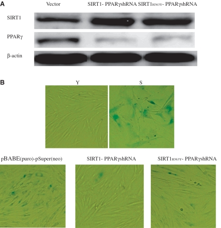 SIRT1 deacetylase activity influenced appearance of senescence-associated features in 2BS cells. 2BS cells infected with the plasmids pBABE (puro) and pSuper(neo) or pBABE-SIRT1 and pSuper-PPARγshRNA or pBABE-SIRT1 H363Y and pSuper-PPARγshRNA were analyzed for β-gal sataining which is a classical biomarker for senescence. ( A ) Western blot analysis of the SIRT1 and PPARγ protein levels in 2BS cells exposed to the indicated perturbations. Western blotting was performed using specific antibodies against SIRT1 and PPARγ as indicated. The β-actin lane is the loading control. ( B ) β-Gal sataining (blue) in 2BS cells exposed to the indicated preturbations. Stably infected 2BS cells expressing empty vector or both SIRT1 and PPARγshRNA or both SIRT1 H363Y and PPARγshRNA, were passaged until one (cells expressing empty vector) underwent senescence. Young 2BS (22PDs) cells were used as a negative control. Senescent 2BS (61PDs) cells were used as a positive control.