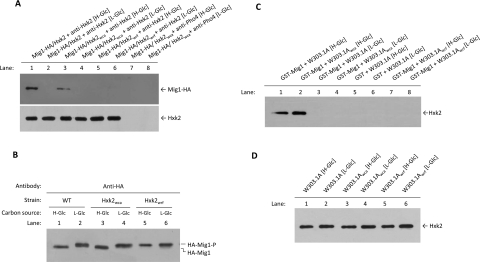 Interaction of <t>Hxk2</t> wca and Hxk2 wrf with Mig1 ( A ) In vivo co-immunoprecipitation of HA–Mig1 with Hxk2 wca and Hxk2 wrf . The W303.1A, W303.1A wca and W303.1A wrf strains, transformed with plasmid pWS93/Mig1 which encoded an HA-tagged Mig1 protein, were grown in SG medium lacking appropriate supplements to maintain selection for plasmid, until a D 600 of 1.0 was reached and then shifted to high- (H-Glc) and low- (L-Glc) glucose conditions for 1 h. The cell extracts were immunoprecipitated with a polyclonal anti-Hxk2 antibody (lanes 1–6) or a polyclonal antibody against Pho4 (lanes 7 and 8). Immunoprecipitates were separated by SDS/12% PAGE, and co-immunoprecipitated HA–Mig1 was visualized on a Western blot with a monoclonal anti-HA antibody. The level of immunoprecipitated Hxk2 in the blotted samples was determined by using an anti-Hxk2 antibody. ( B ) Mig1 phosphorylation in response to Hxk2 wca and Hxk2 wrf availability. Cells, from wild-type (WT), Hxk2 wca and Hxk2 wrf strains transformed with the HA–Mig1 construct (plasmid pWS93/Mig1), were grown in SG medium lacking appropriate supplements to maintain selection for plasmid, until a D 600 of 1.0 was reached and then shifted to high- (H-Glc) and low- (L-Glc) glucose conditions for 1 h. The Mig1 protein was detected from total cell extracts by SDS/12% PAGE followed by immunoblotting with an anti-HA antibody. The phosphorylated forms of Mig1 are indicated as HA-Mig1-P (phosphorylated) and HA-Mig1 (dephosphorylated). ( C ) GST pull-down assays of the interaction of Hxk2 wca and Hxk2 wrf proteins with Mig1. A GST–Mig1 fusion protein was purified on glutathione–Sepharose columns. Equal amounts of GST–Mig1 were incubated with cell extracts from a wild-type strain (W303.1A) and the mutant strains W303.1A wca and W303.1A wrf . The yeast strains were grown in YEPG medium until a D 600 of 0.6 was reached and then shifted to high- (H-Glc) and low- (L-Glc) glucose conditions for 1 h. For the control samples, GST pro