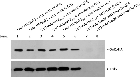 Interaction of Hxk2 wca and Hxk2 wrf with Snf1 Co-immunoprecipitation of HA–Snf1 with Hxk2 wca and Hxk2 wrf . The FMY303H2 strain, which encoded an HA-tagged Snf1 protein, was transformed with plasmids YEp352/Hxk2, YEp352/Hxk2 wca and YEp352/Hxk2 wrf . The cells were grown in SG medium lacking appropriate supplements to maintain selection for plasmid, until a D 600 of 1.0 was reached and then shifted to high- (H-Glc) and low- (L-Glc) glucose conditions for 1 h. The cell extracts were immunoprecipitated with a polyclonal anti-Hxk2 antibody or a polyclonal antibody against Pho4 (lanes 7 and 8). Immunoprecipitates were separated by SDS/12% PAGE, and co-immunoprecipitated HA–Snf1 was visualized by Western blotting with a monoclonal anti-HA antibody. The level of immunoprecipitated Hxk2 in the blotted samples was determined by using an anti-Hxk2 antibody.