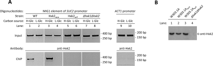 In vivo binding of Hxk2 wca to the MIG1 element of the SUC2 promoter ( A ) Wild-type (WT) W303.1A, the mutant strains W303.1A wca and W303.1A wrf and the double-mutant strain DBY2052 (Δ hxk1 Δ hxk2 ) were grown to mid-exponential phase in YEPG medium and then shifted to high- (H-Glc) and low- (L-Glc) glucose conditions for 1 h. Cell extracts were prepared, immunoprecipitated with anti-Hxk2 antibodies and the DNA fragments were amplified by PCR using the combination of oligonucleotides indicated in the Materials and methods section. The amplified fragments were resolved by agarose gel electrophoresis. Migration of standard markers is indicated on the right. A ChIP assay representative of three independent experiments is shown. ( B ) Verification of expression of the wild-type and Hxk2 mutant proteins. The double-mutant strain DBY2052 (Δ hxk1 Δ hxk2GLK1 ) lacking the two fructose-phosphorylating enzymes was used as control. Yeasts were grown to mid-exponential phase in complex medium with galactose, and then shifted to high-glucose medium for 1 h. The cells were harvested and lysed in 1% SDS/PBS containing protease inhibitors. Aliquots of 20 μg of protein/lane were resolved by SDS/12% PAGE. Hxk2 detection was performed using an anti-Hxk2 antibody.