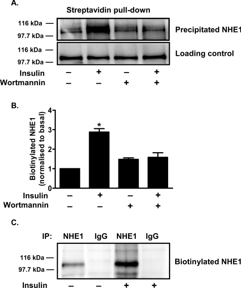Treatment with insulin increases the abundance of NHE1 at the cell surface through a PI3K-dependent mechanism ( A ) Isolated cardiomyocytes were incubated for 30 min with or without 30 nmol/l insulin. Where indicated, cells were pre-treated for 15 min with 100 nmol/l wortmannin before the addition of insulin. Cardiomyocytes were then cooled to 15 °C, labelled with 180 μmol/l Sulfo-NHS-SS-Biotin, washed and membranes prepared. Membranes were solubilized (20 μg of protein was taken for a loading control), biotinylated protein was precipitated with immobilized streptavidin, the precipitated proteins were separated by SDS/PAGE and NHE1 was detected by Western blot analysis. The blots are representative of five independent experiments. ( B ) Quantification data from the Western blot results. The histogram represents the means ± S.E.M. from five independent experiments. * P