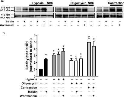 Effects of hypoxia, oligomycin treatment and contraction on the abundance of NHE1 levels at the cell surface ( A ) Isolated cardiomyocytes were incubated in hypoxic buffer for 15 min, or treated with 5 μmol/l oligomycin for 60 min or were electrically stimulated to contract for 5 min. When indicated, cells were pre-incubated with 100 nmol/l wortmannin for 15 min. When the combined effect of insulin stimulation and hypoxia was studied, cardiomyocytes were first incubated with 30 nmol/l insulin for 30 min and insulin was then maintained throughout the hypoxic treatment. When the combined effect of insulin and oligomycin treatment was examined, after 30 min of oligomycin treatment 30 nmol/l insulin was added for the remaining 30 min of the oligomycin treatment. In each experiment, control cells were left untreated or incubated with 30 nmol/l insulin for 30 min. After the treatments, cardiomyocytes were cooled to 15 °C, labelled without (no biotin control, NBC) or with 180 μmol/l Sulfo-NHS-SS-Biotin. Membrane samples were solubilized (20 μg was taken for loading control, bottom panel), biotinylated protein was precipitated with immobilized streptavidin, the precipitated proteins were separated by SDS/PAGE and NHE1 was detected by Western blot analysis (top panel). The blots are representative of three to five independent experiments. ( B ) Quantification data from Western blot results. The histogram represents the mean + S.E.M from three to five independent experiments. * P