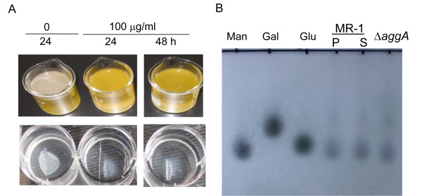 EPS analysis . (A) Effects of proteinase K on pellicle formation and developed pellicles. Upper-panel, pellicle formation of the WT in static LB, in which the proteinase K was added at inoculation to 100 mg/ml (final concentration). Lower panel, developed pellicles of the WT (48 h after inoculation) were treated with 100 mg/ml (final concentration). (B) TLC analysis of monosaccharide in pellicles and supernatants. P and S represent pellicle and supernatant, respectively. Man, gal, and glu represent mannose, galactose, and glucose, respectively. Supernatants of the aggA mutant culture were included in the analysis.