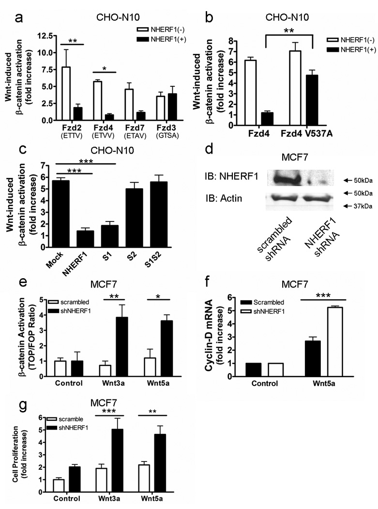 Enhanced Wnt signaling occurs in the absence of NHERF1 ( a ) CHO-N10 cells were co-transfected with the indicated Fzd receptors and either TOP or FOP luciferase reporter plasmid. NHERF1 expression blunted Wnt-induced luciferase expression via Fzd 2, 4 and 7 but had no effect on Wnt signaling through Fzd3 (** p
