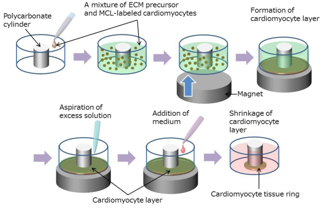 A procedure for fabrication of a cardiac tissue ring by combining Mag-TE and ECM-based techniques. A mixture of diluted ECM precursor and MCL-labeled cardiomyocytes was cast into a well of a 24-well ultra-low attachment plate containing a polycarbonate cylinder fixed in the center of each well. Immediately thereafter, a magnet was placed underneath the wells to attract the MCL-labeled cardiomyocytes to the culture bottom, enabling the removal of excess amounts of ECM precursor from the upper side of the formed cell layer. The remaining ECM within the cell layer was then hardened, and the medium was added. During the culture, the cell layer gradually shrank towards the cylinder, resulting in the formation of ring-shaped cardiac tissue.