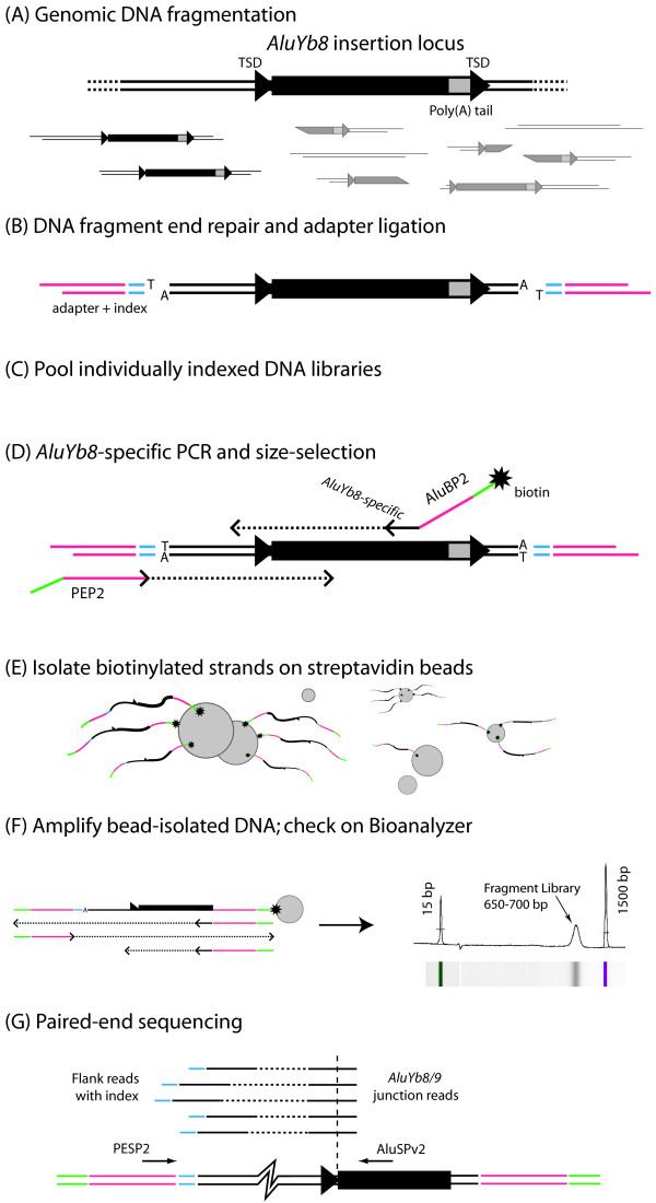 Mobile Element Scanning (ME-Scan) Library Preparation and Sequencing Protocol . (A) dsDNA genomic DNA is extracted and then fragmented by sonication. An AluYb8/9 element is depicted (black rectangle: Alu element; gray box: Poly-A tail of the Alu ; TSD: t arget s ite d uplication). Some fragments (darker) will contain most or all of the element along with some upstream genomic sequence. (B) Fragment ends are repaired, 3'A overhangs are added, and oligonucleotide adapters (pink) carrying sample-specific indexes (blue) are ligated onto the ends. (C) Multiple indexed libraries are pooled for subsequent processing. (D) A limited number of PCR cycles are performed using a biotinylated AluYb8/9 -specific PCR primer (ALUBP2) and a primer (PEP2) that anneals to the adapters. PCR products in the 650-700 bp size range are selected using gel electrophoresis. (E) The biotinylated strands are purified away from other products using streptavidin-coated paramagnetic beads. (F) The biotinylated strands are amplified by PCR with primers matching the adapter sequences. The resulting product is checked using an Agilent Bioanalyzer DNA 1000 assay (electropherogram and gel-like image shown.) (G) Paired-end, 2x36-bp sequencing is carried out on the AluYb8/9 -specific pooled fragment library using a custom Alu -specific primer (ALUSPv2) for the first ( Alu junction) read and the standard adapter-specific primer (PESP2) for the second (genomic flank) read. The junction read begins inside the Alu element, yielding 16 bp of Alu sequence followed by 20 bp of genomic flank sequence. The flank read contains the 5-bp index and the 'T' added during sample preparation, followed by 30 bp of genomic sequence. Multiple read pairs are depicted, corresponding to different fragments carrying the same AluYb8/9 insertion (generic fragment diagrammed at bottom.)