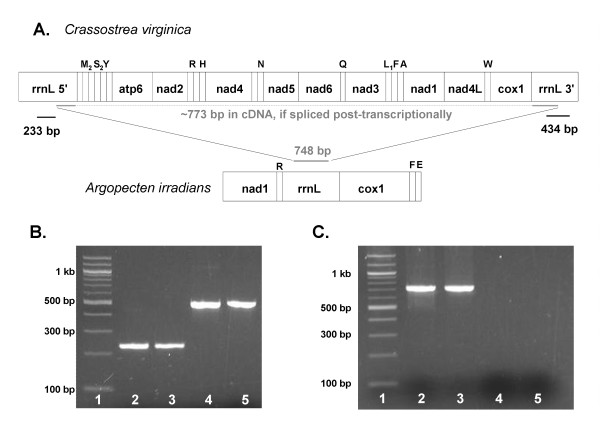 Amplification of mtDNA and cDNA LSU rRNA gene regions in Crassostrea virginica . Diagram A presents the amplicon locations in the C. virginica and A. irradians mtDNA genome. Gel image B contains a 233 bp region of the 5'-half LSU amplified from the C. virginica genomic DNA preparation (lane 2) and cDNA preparation (lane 3), as well as a 494 bp region of the 3'-half LSU amplified from the C. virginica genomic DNA preparation (lane 4) and cDNA preparation (lane 5); lane 1 = 100 bp ladder. Gel image C: a 748 bp product (starting in the 5' half and ending in the 3' half) amplified from a continuous LSU template in Argopecten irradians genomic DNA (lane 2) and cDNA (lane 3), but was not amplified from C. virginica genomic DNA (lane 4) or cDNA (lane 5).