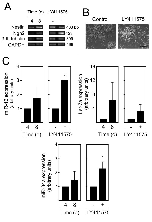 miR-16, let-7a and miR-34a are increased during mouse ES cell differentiation . Mouse ES cells (Sox1-GFP 46C) were differentiated using an adherent monolayer protocol. Cells at 4 and 8 days were collected for total RNA extraction and subsequently processed for evaluation of specific differentiation markers, as well as proapoptotic miRNA expression by quantitative Real <t>Time-PCR.</t> A positive control for neural differentiation was also performed at day 8 by treating cells with either 10 nM LY411575 or 0.01%DMSO (control) for 12 hours. A) Semi-quantitative RT-PCR analysis for selected markers of lineage commitment in day 4 and 8, as well as in LY411575-treated and untreated cells. B) Representative bright-field, phase contrast images showing increased neuronal differentiation after LY411575 incubation compared with control (DMSO-treated) cells. C) Expression of miR-16, Let-7a and miR-34a at 4 and 8 days of ES cell differentiation and in control (DMSO-treated) and LY411575-treated rosette cultures at 8 days. <t>miRNAs</t> expression were evaluated from 10 ng of total RNA, using specific primers for each miRNA, and GAPDH for normalization. Expression levels were calculated by the ΔΔ C t method using either differentiated cells at 4 days or LY411575-untreated cells as calibrator. Data represent mean ± SEM of three independent experiments. * p