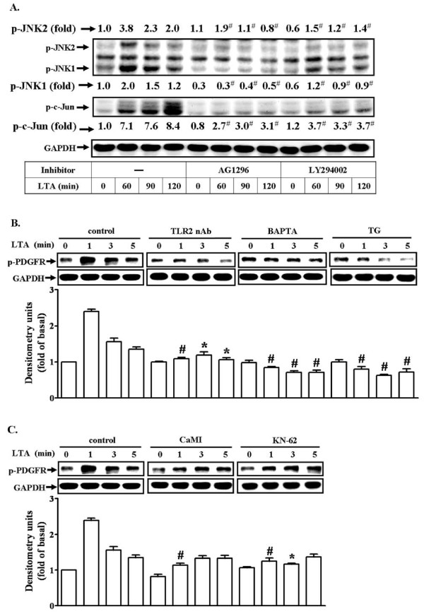 LTA induces MMP-9 expression via Ca 2+ /CaMKII-dependent transactivation of PDGFR in RBA-1 cells . (A) Cells were pretreated with AG1296 (10 μM) or LY294002 (30 μM) for 1 h and then incubated with 50 mg/ml LTA for the indicated time intervals. (B, C) Cells were pretreated with TLR2 neutralizing antibody (TLR2 nAb), BAPTA, TG, CaMI, or KN-62 for 1 h and then incubated with 50 mg/ml LTA for the indicated time intervals. Cell lysates were subjected to SDS-PAGE and blotted using an anti-phospho-JNK or anti-phospho-c-Jun (A) and anti-phospho-PDGFR (B, C) or anti-GAPDH (as an internal control) antibody. Data are expressed as mean ± SEM (B, C) or mean (A) of three independent experiments (n = 3). * P